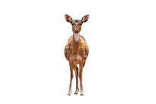 Spotted Deer,Cute Spotted Fallow Deer Isolated On The White Background.