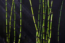 Barred Horsetail (Equisetum Japonicum), Against A Black Background, Growing In A Small Pond In A Private Garden In Gosport, Hampshire, England, UK