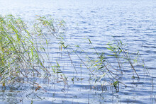 Coastal Reed Growing In Water On A Daytime
