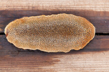 Dichomitus Campestris Is A Crustose Fungus That Grows On Wood