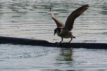 Canada Goose (Branta Canadensis) Going Over A Barrier
