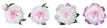 Watercolor Set  Pink Peonies  Flowers On White  Isolated Background. Closeup. For Design. Nature.