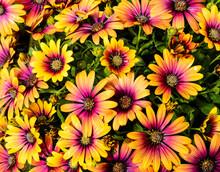 Osteospermum Purple Sun African Daisy Flowering Plant With Orange And Purple Daisy-like Flowers.