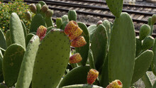 Green Prickly Pear Cactuses On A Blurred Background
