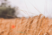 Closeup Shot Of Wheat Ears Bending From The Wind