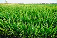 Green Rice Field, Ecological Agriculture Organic Planting