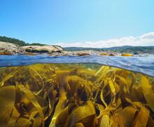Kelp Algae Seaweeds Below Sea Surface Near Coastline, Split View Over And Under Water, Atlantic Ocean, Spain, Galicia, Pontevedra Province