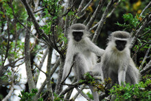Africa- Close Up Of Two Cute Wild Vervet Monkeys Looking At The Camera From A Tree