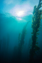 Looking Up Toward The Sun And Clouds From Deep Under The Ocean Next To A Kelp Forest
