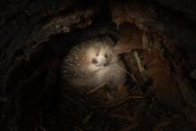Closeup Shot Of Short-beaked Echidna On The Ground In Tasmania, Australia