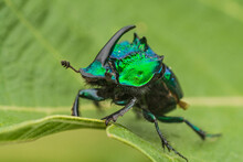 Rhinoceros-horned Scarab Beetle In Jocotepec, Jalisco, Mexico