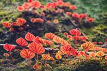 Begonia Red And Orange Leaf On Rock. National Park In Thailand. Sun Lighting.