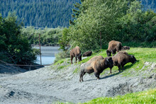Wood Bison On The Meadow