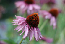 Side View Of Echinacea Or Cone Flower With Blurred Background