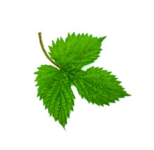 Green Leaf Of Blackberry Isolated On White Background.