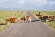 A Herd Of Cows Crossing The Road In The Countryside