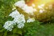 Hortensja bukietowa w promieniach słońca
