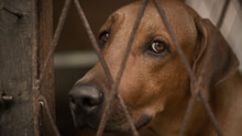 Sad And Lonely Expression Of The Ridgeback Dog's Face Close Up Photograph, Dog In A Cage Looking At The Camera Through The Iron Cage Fence.