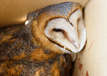 Barn Owl (Tyto Alba) Collected In A Box Just Hit By A Vehicle And Taken To The Vet