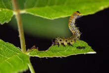 False Caterpillar Of The Rose Bush (Arge Rosae)