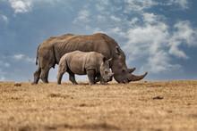 White Rhinoceros Ceratotherium Simum Square-lipped Rhinoceros At Khama Rhino Sanctuary Kenya Africa.