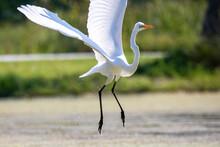 The Snowy Egret (Egretta Thula) In Flight