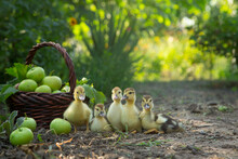 Five Cute Ducklings Sit In A Row In The Garden Against The Background Of A Basket Full Of Apples