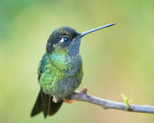 A Talamanca Hummingbird (Eugenes Spectabilis) Takes A Little Break.