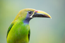 Also Known As The Blue-throated Toucanet, This Is One Of The Most Beautiful Birds Of Costa Rican Mountains.
