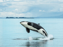 A Killer Whale, Or Orca, Breaches In The Waters Of Icy Strait, Alaska