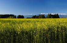 Field Of Mustard Plants In Full Blooming Yellow Flowers