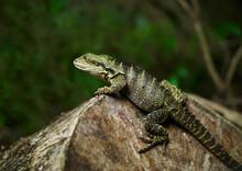 Water Dragon Closeup Resting On Log In Native Setting - Eastern Water Dragon-P.I.Leusueurii