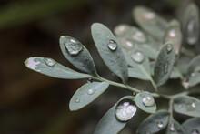 Hojas Y Flor De Ruda Con Insectos Y Humedad De Lluvia