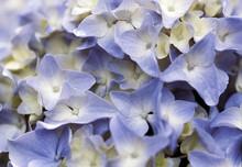 Close Up Of Pale Blue Hydrangea Flower Head