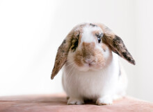 A Lop Eared Rabbit With Calico Markings Sitting And Looking At The Camera