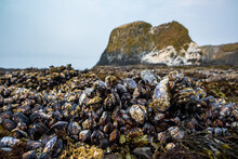 Urchins, Anemone And Shellfish Abound On Tide Pools Uncovered On A Rocky Beach