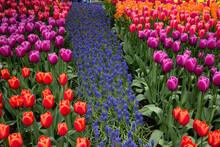 Skagit Valley Tulip Field