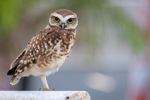Burrowing Owl Looking At The Camera