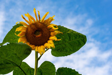 One Yellow Sunflower With Green Leaves Is Large.