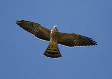 Soaring Juvenile Mississippi Kite Raptor