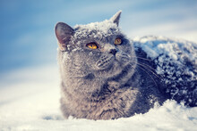 Portrait Of Blue British Shorthair Cat Sitting In The Snow In A Blizzard