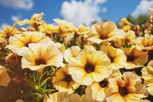 Vintage Flowering Yellow Petunia Flowers. Floral Nature Background