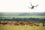 Fototapeta Kawa jest smaczna - Agricultural drone watching a herd of cows. Smart farming