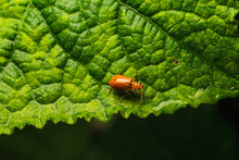 Pumpkin Beentle Cucurbit Leaf Beetle Or Yellow Squash Beetle It Is Classified As One Of The Insect Pests.