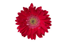Top View Colorful Red Gerbera Flower Or Barberton Daisy Blooming. Close-up On Pollen. On Isolated White Background With Clipping Path.