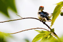 Scarlet-backed Flower Pecker Dicaeum Cruentatum Male Cute Birds Of Thailand.