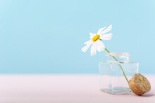 Single Beautiful White Camomole Flower In Tiny Glass Bottle On Pink And Blue