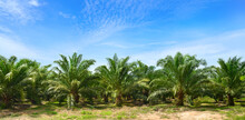 Palm Oil Plantation Growing Up With Blue Sky Background.