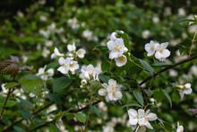 Sweet Mock Orange Bush White Flowers
