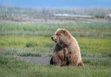 Alaska Brown Bear, Grizzly Bear Or Coastal Brown Bear In Lake Clark National Park And Preserve, Alaska In The Wilderness